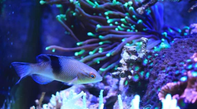 Aquarium fish with reef