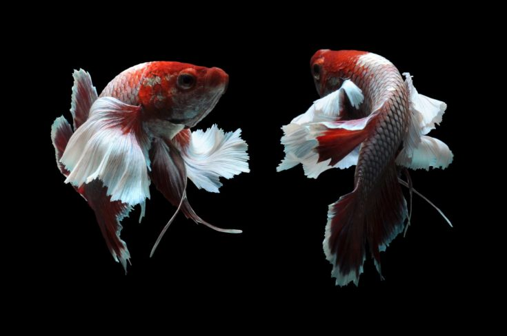 Siamese fighting fish isolated in black background