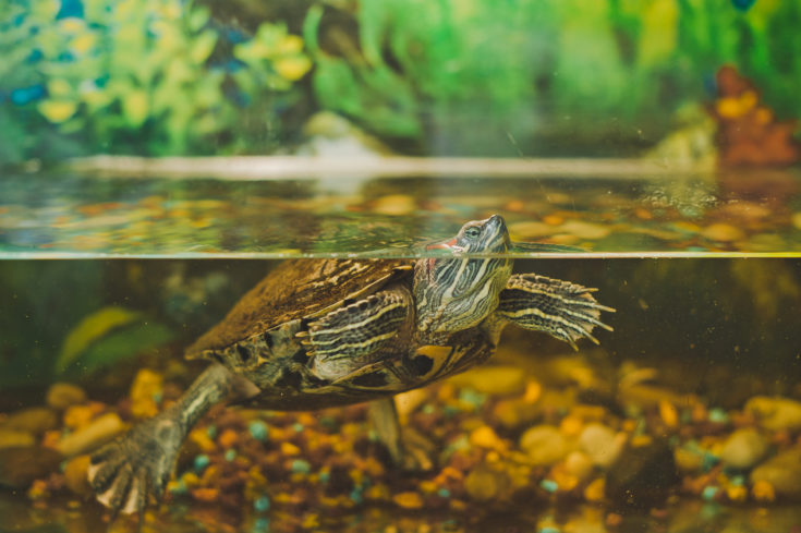 The small turtle floats in an aquarium.