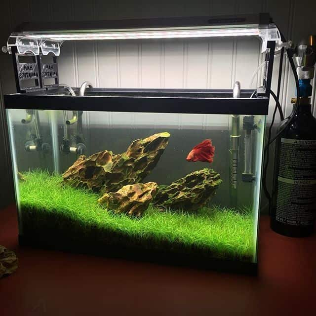 Fish tank with wonderful grassy bed,rock decorations jutting out from the center