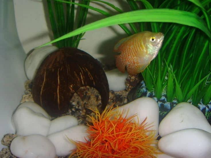 Coconut Shell Cave on betta fish tank