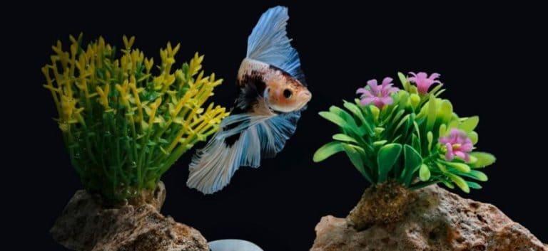 Betta Fish inside the tank