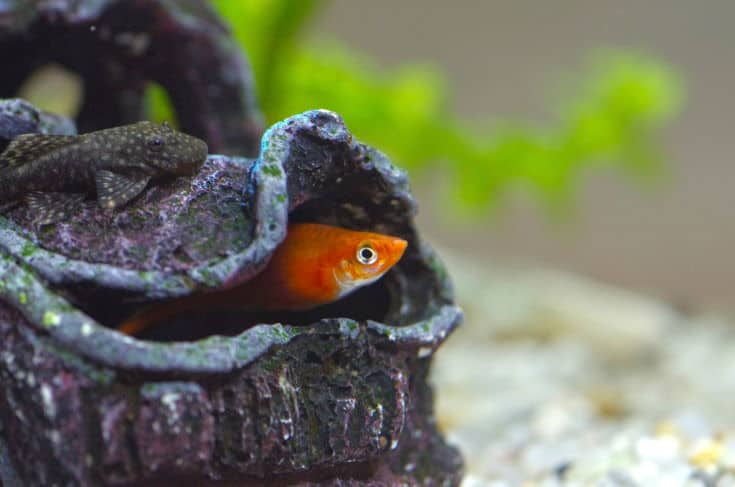 Cloase up image of a catfish in aquarium