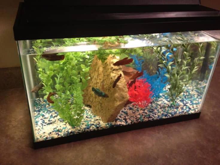 Betta Sorority Fish Tank
