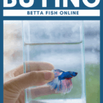 A Guide To Buying Betta Fish Online - pin
