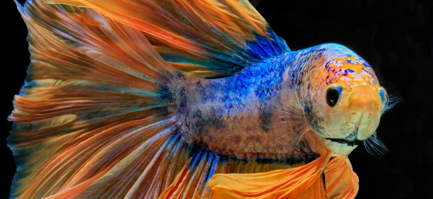 Beginner's Guide to Betta Fish_ Facts, Tips and Advice for a Healthy Betta Set-Up- Betta fish in black background.