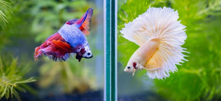 Two betta fish put inside on a separate tanks.