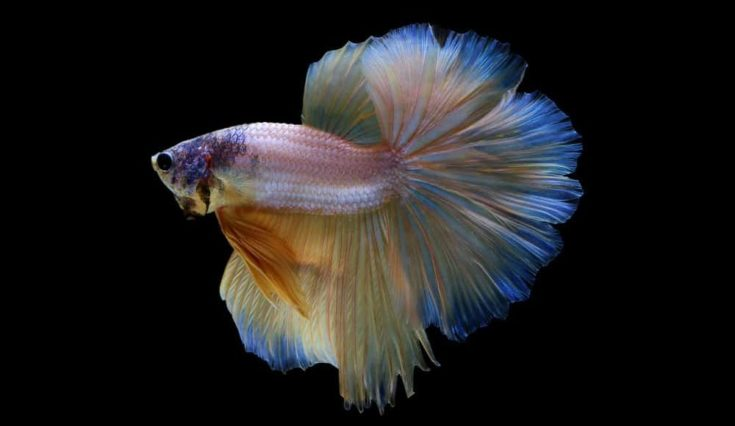 Fancy Halfmoon Betta on Black Background