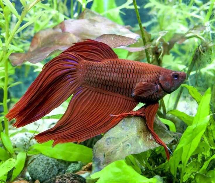 Red Veiltail mail Beta or Siamese Fighting Fish in planted tank