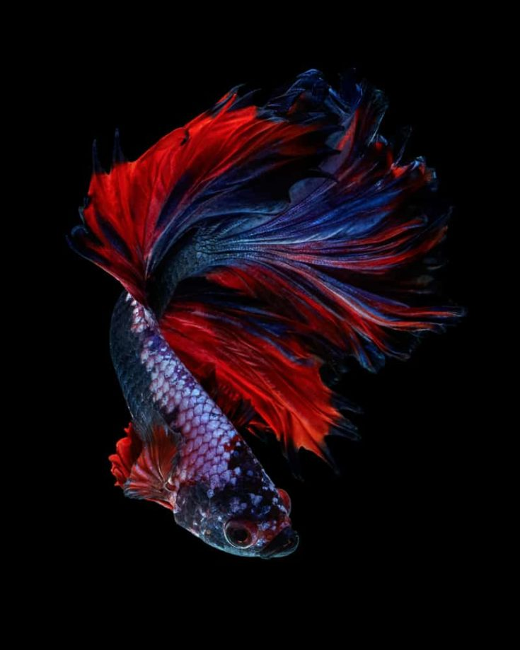 """Power color betta fish """"Rosetail betta fancy"""" isolated on black background Fine art concept."""