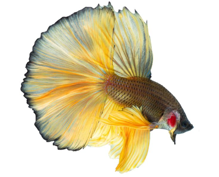 Beautiful siamese fight fish or exotic betta splenden on black background, isolated