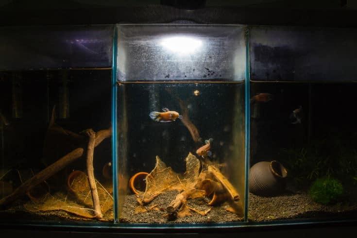 Wild Betta Breeding Program Tank Set up look likes Peat Swamp