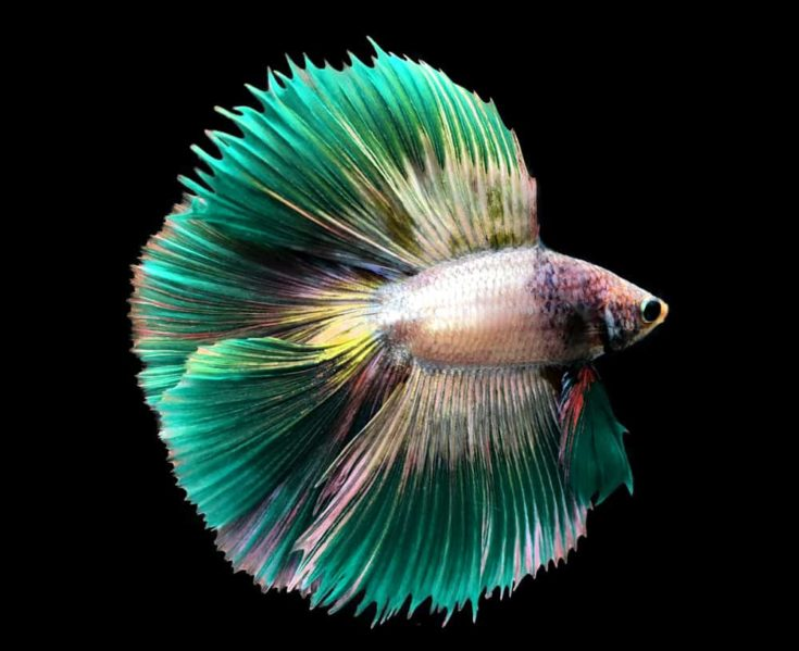 Green Siamese fighting fish isolated on blue background.