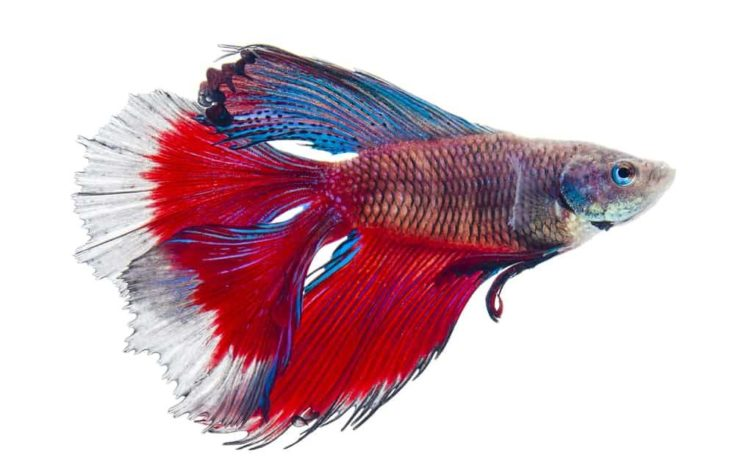 double tail siamese fighting fish, betta splendens isolated on white background