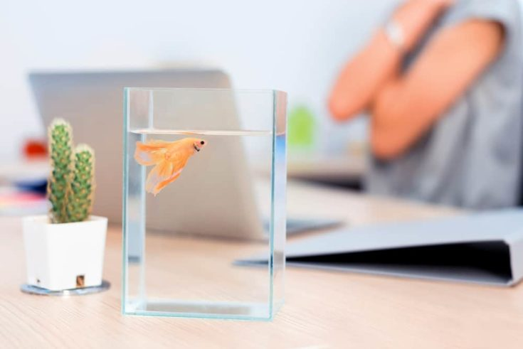 Fighting fish in a bowl. Small pet for relaxing when work in office.