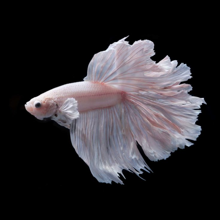 siamese fighting fish , betta isolated on black background