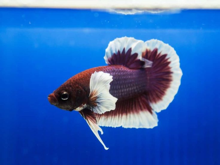 siamese fighting fish , betta isolated on blue background