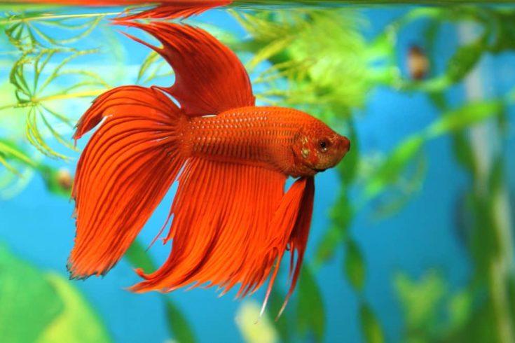 Aquarian fish swims in aquarium water