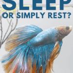 Do Betta Fish Sleep or Simply Rest? - pin