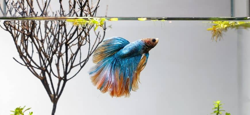 Betta Fish swimming, with branch and plants