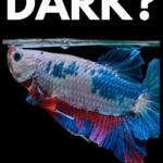 Should You Keep Your Betta In the Dark? - pin