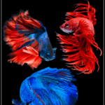 The Types of Betta Fish: A Guide to Colors, Patterns and Tails - Pin