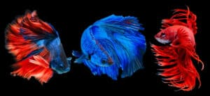 The Types of Betta Fish: A Guide to Colors, Patterns and Tails : Three betta fish on black background.