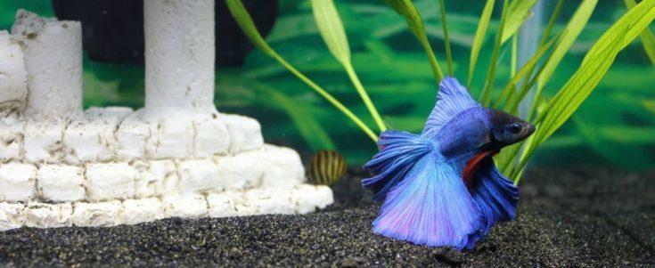 Blue betta fish inside aquarium.