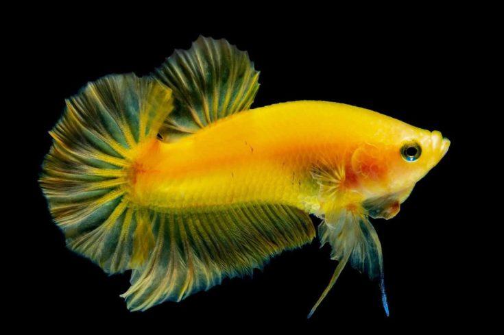 Yellow Betta fish in black background.