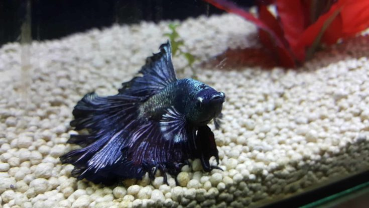 Copper black betta fish.