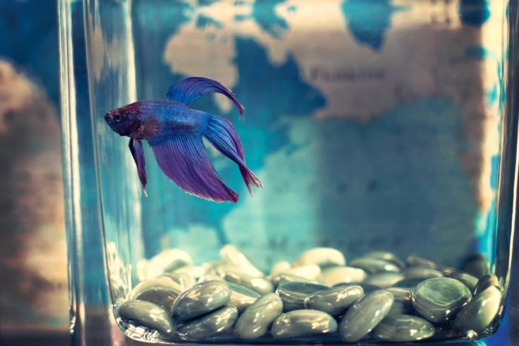 Selective focus photo of blue betta fish on small glass container.