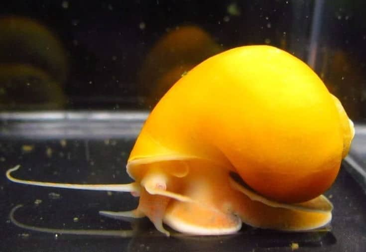 "Golden Mystery Snail - 1/2""-2"" - Algae Eater for Aquariums"