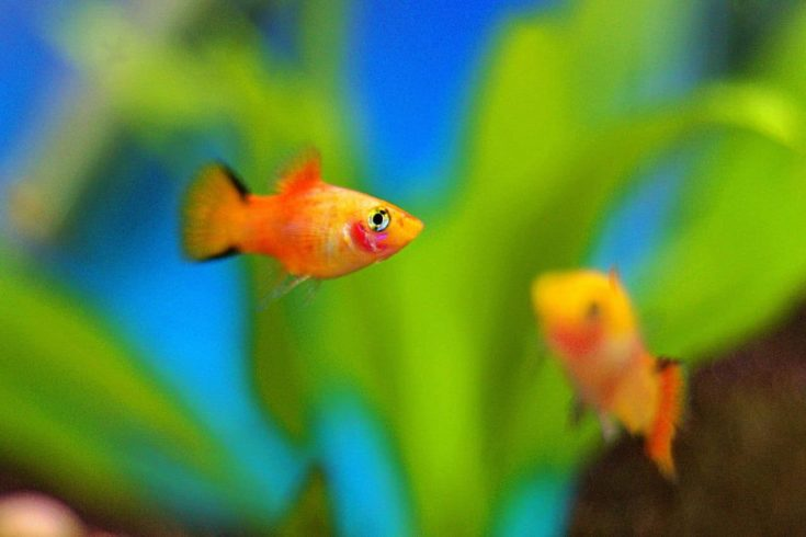 Platy Fish underwater