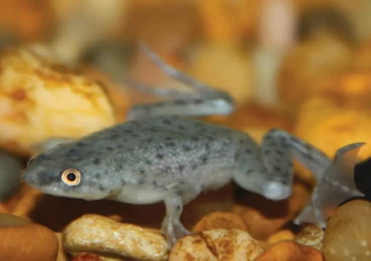 African Dwarf Frogs originated in the rivers and streams of central Africa