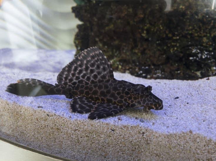 Catfish ancystrus at the bottom of the aquarium