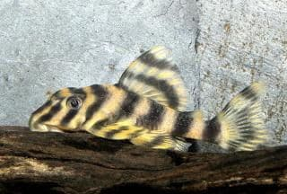 This fish, often labelled 'Candy Striped Peckoltia' has often been confused in hobby literature with the fish we now know as Panaque maccus, the clown pleco