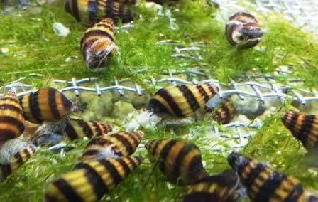5 Assassin snails ( moss - shrimp - driftwood - tropical - fish - aquarium )