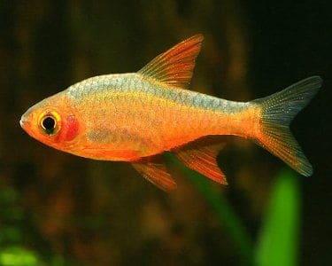Fire Rasbora (Rasboroides vaterifloris) are endemic to the lakes, streams and river basins of southwestern Sri Lanka.