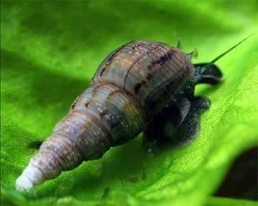 One Stop Aquatics Malaysian Trumpet Snails (MTS)