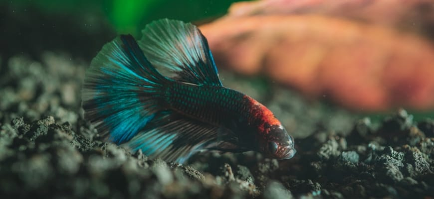 Best Substrate for Bettas - A Brief Guide - Betta fish nibbling on gravel.