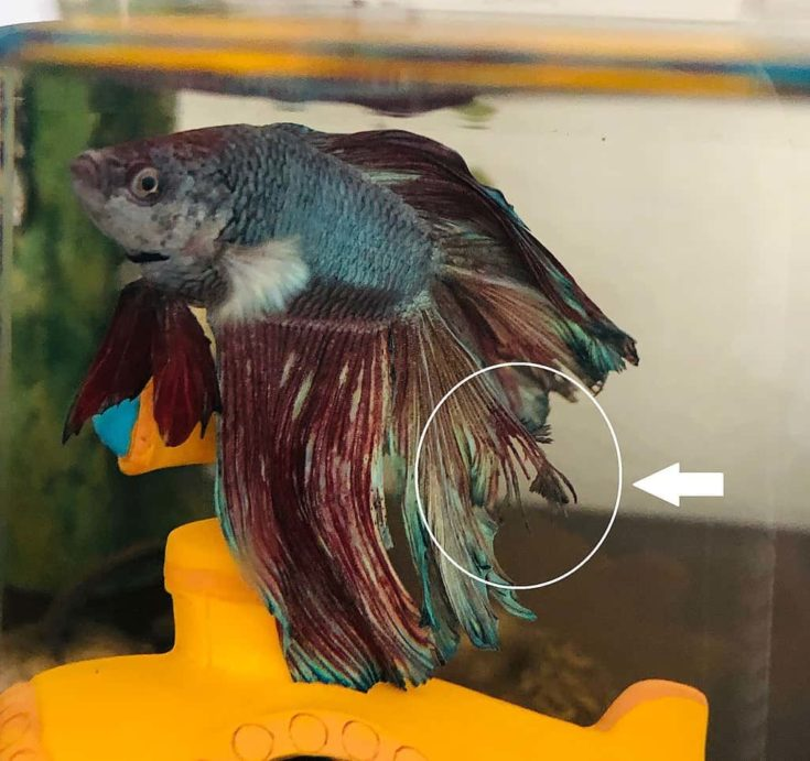 Image of a betta fish in a tank with obvious fin rot