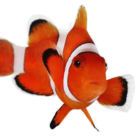 Clownfish in a white background.