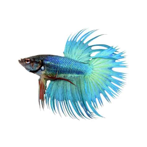 Crowntail Betta in a white background.