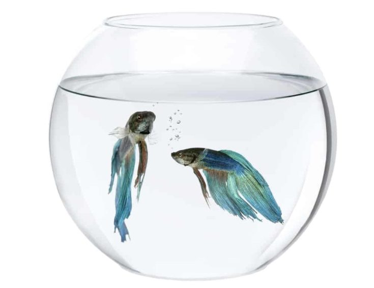 Blue Siamese fighting fish in fish bowl, Betta Splendens, in front of white background.