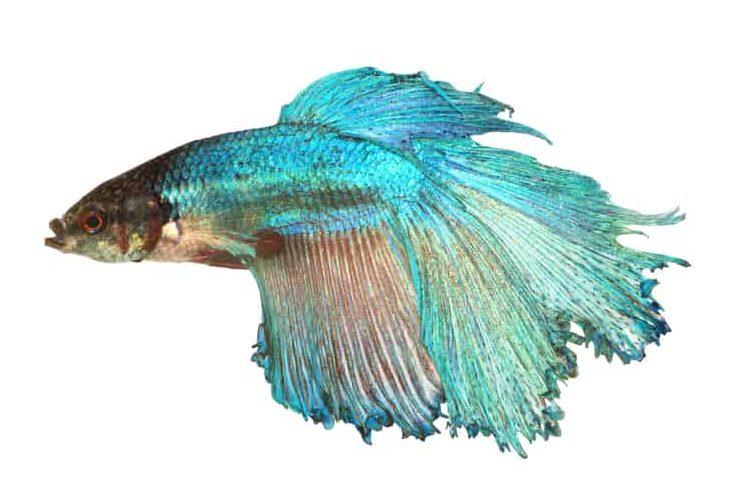 Fight fish close up