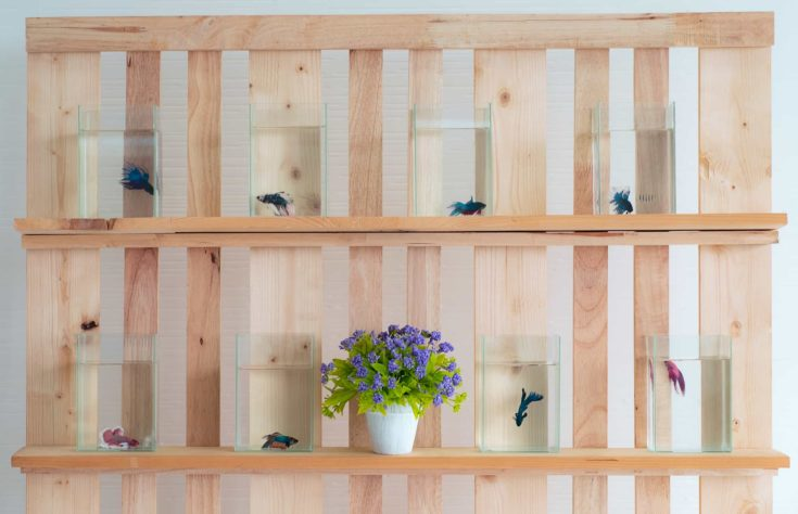 Beautiful siamese betta fish in the glass and water at wall wooden shelf