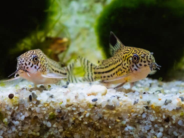 Two small spotted Cory catfish side by side