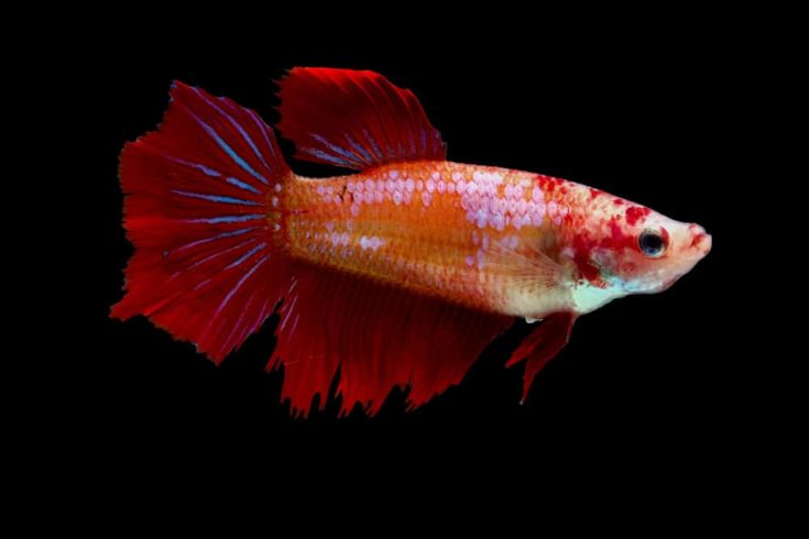 Multi-color or colorful female betta fish, Siamese fighting fish was isolated and swim on black background.