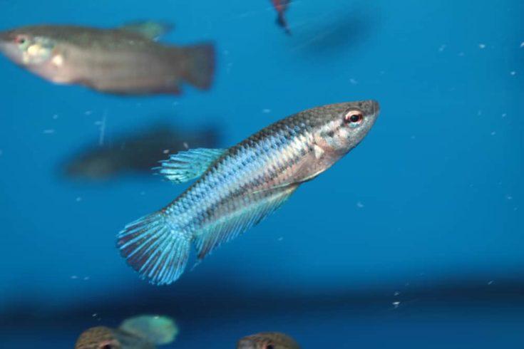 Female of Siamese fighting fish (Betta) aquarium fish