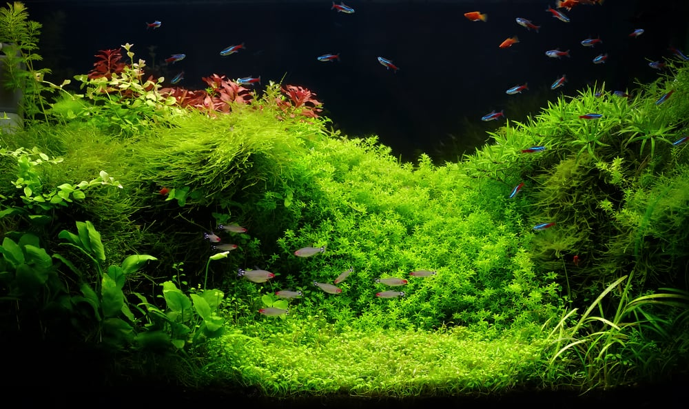 neon tetra- A beautiful planted tropical freshwater aquarium with bright blue neons and rummy nosed tetra fishes